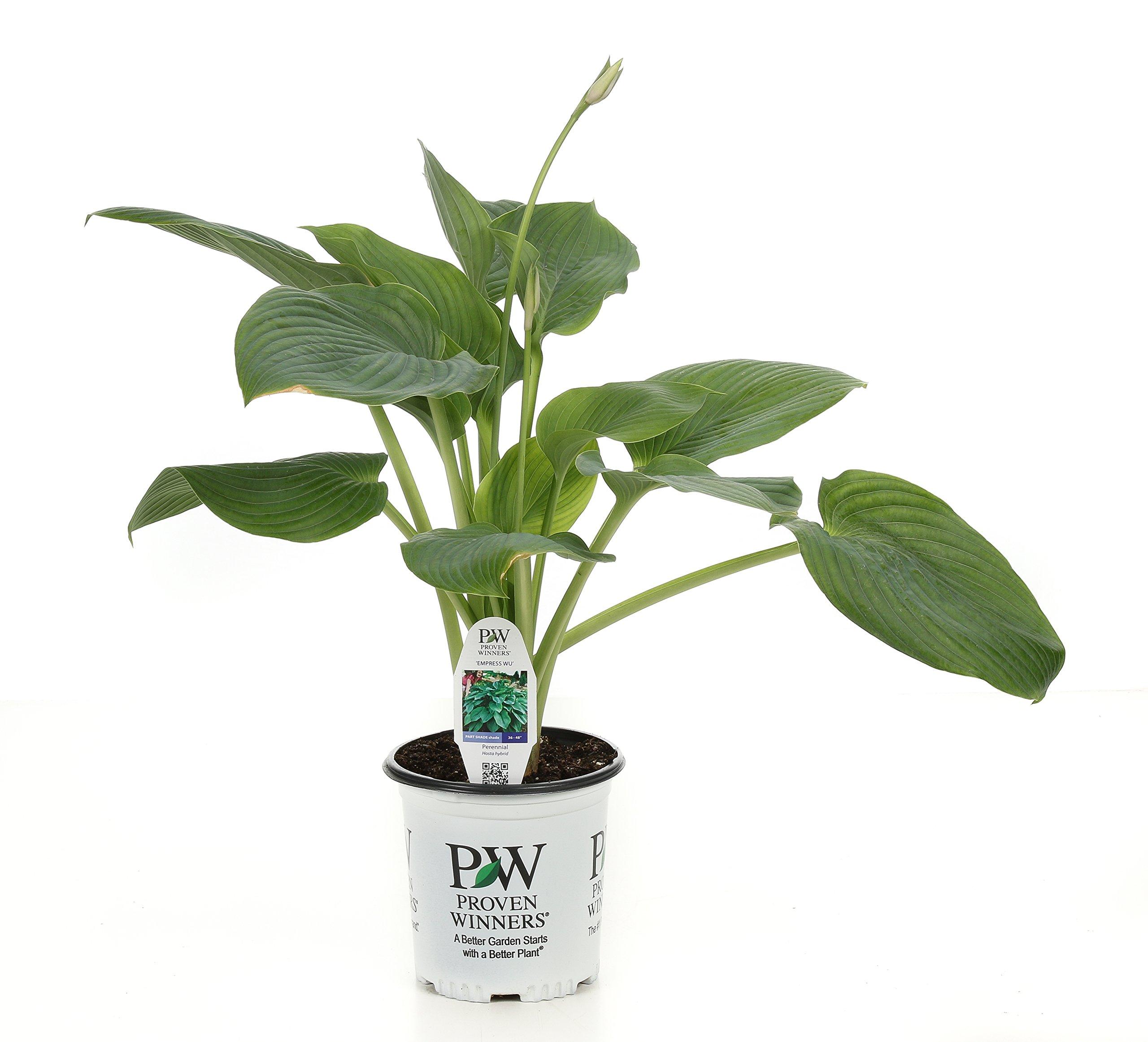 Shadowland Empress Wu (Hosta) Live Plant, Green Foliage, 0.65 Gallon by Proven Winners (Image #1)