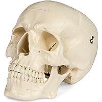Novelty & Gag Toys Toys & Hobbies Loyal Human Skeleton Medium Skull Full Body Anatomical Model For Halloween Medical