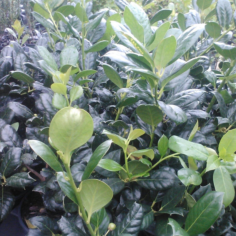 Sandys Nursery Online Ilex Nellie R Stevens Evergreen Holly Shrub/Tree 3 inch pot ~Lot of 30~+ August Beauty Gardeina Stater Plant Sandys Nursery Online®