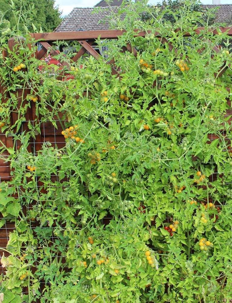 hunderte Fr/üchte an einer Pflanze 10 Samen Gelbe Wildtomate Tomate