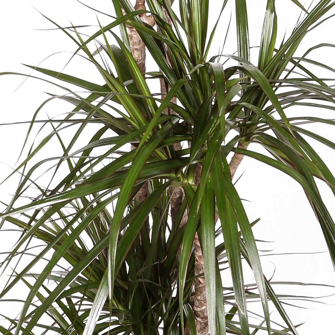 Dracaena Marginata - Maceta 20cm. - Altura aprox. 1m - 3 Troncos - Planta viva - (Envío sólo a Península): Amazon.es: Jardín
