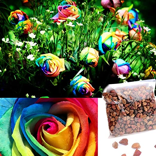 Amazon.com : Dealglad 1000Pcs Beautiful Rainbow Rose Seeds Multi ...
