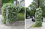 Confederate Jasmine Fragrant Evergreen Vine - Quart Pot