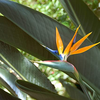 amazon com outsidepride bird of paradise flower seed 50 seeds