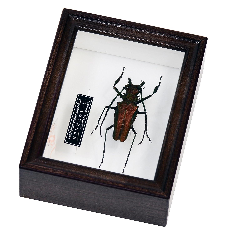 南米のカミキリムシ 名和昆虫博物館企画製作 ミドリオニカミキリの標本   B07FZTVBPF