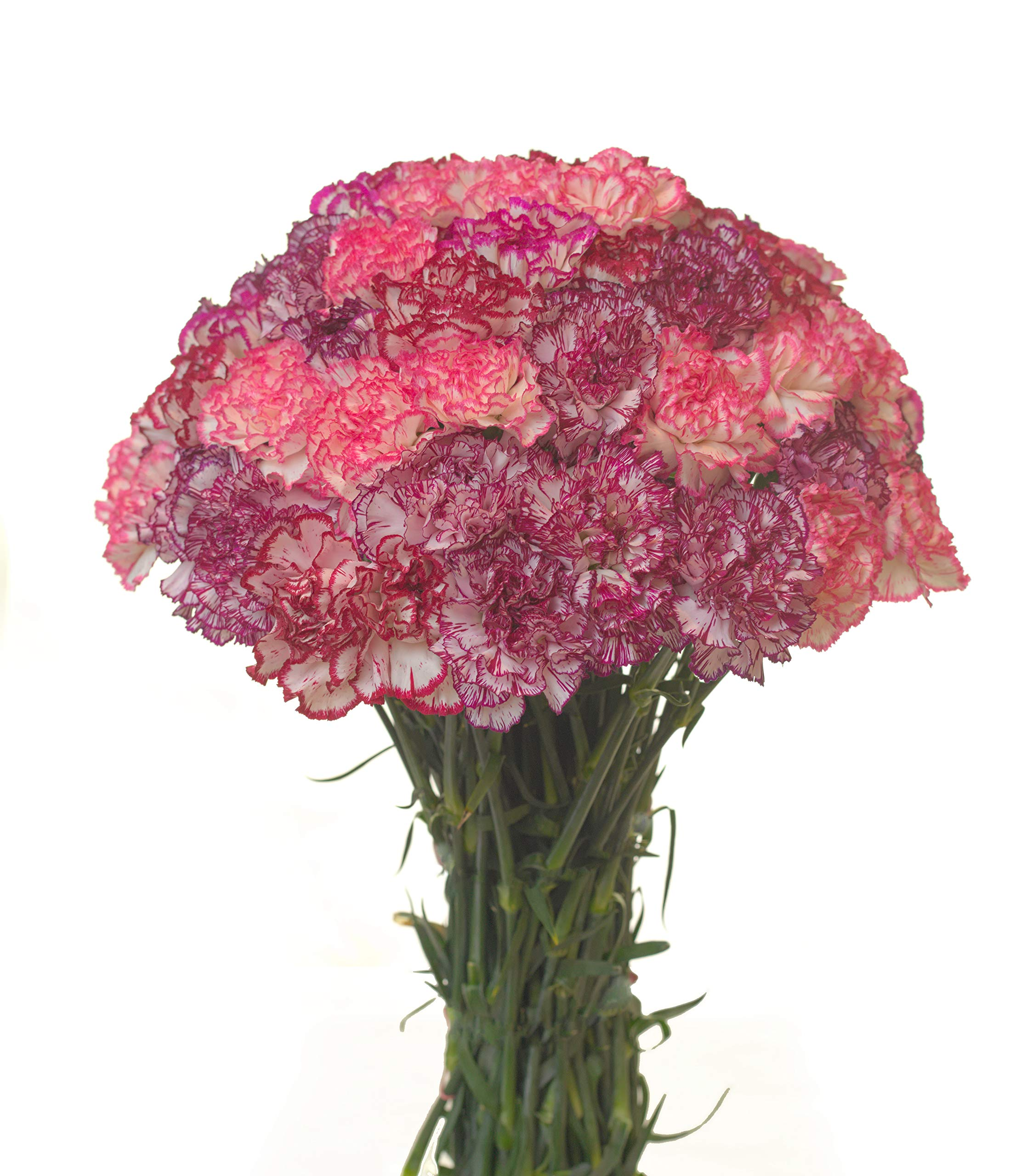 Carnations Multiple Colors and Quantities (50, BI-Color)