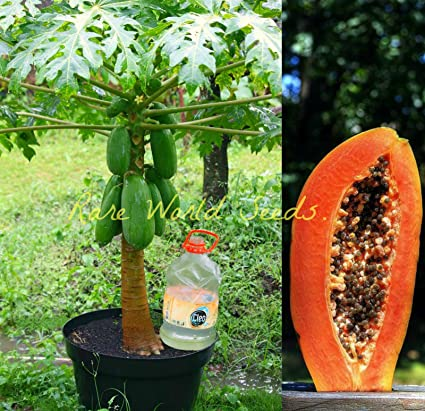 ROSE Gardens Carica Papaya Seeds