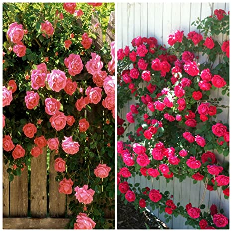BEE Garden (2 Packs) Climbing Rose Flower Seeds Combo of (Coral Pink, Red)