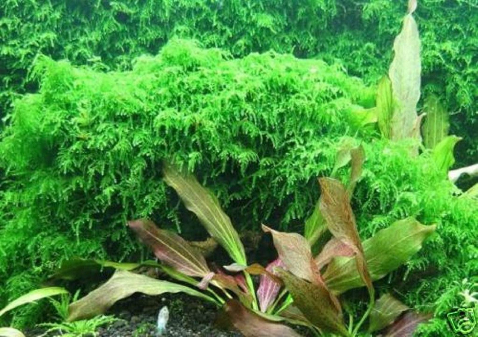 Hot Sale! Xmas Moss-Live Aquarium Brackish Water Fish Tank Plant by Polar Bear's Aquarium