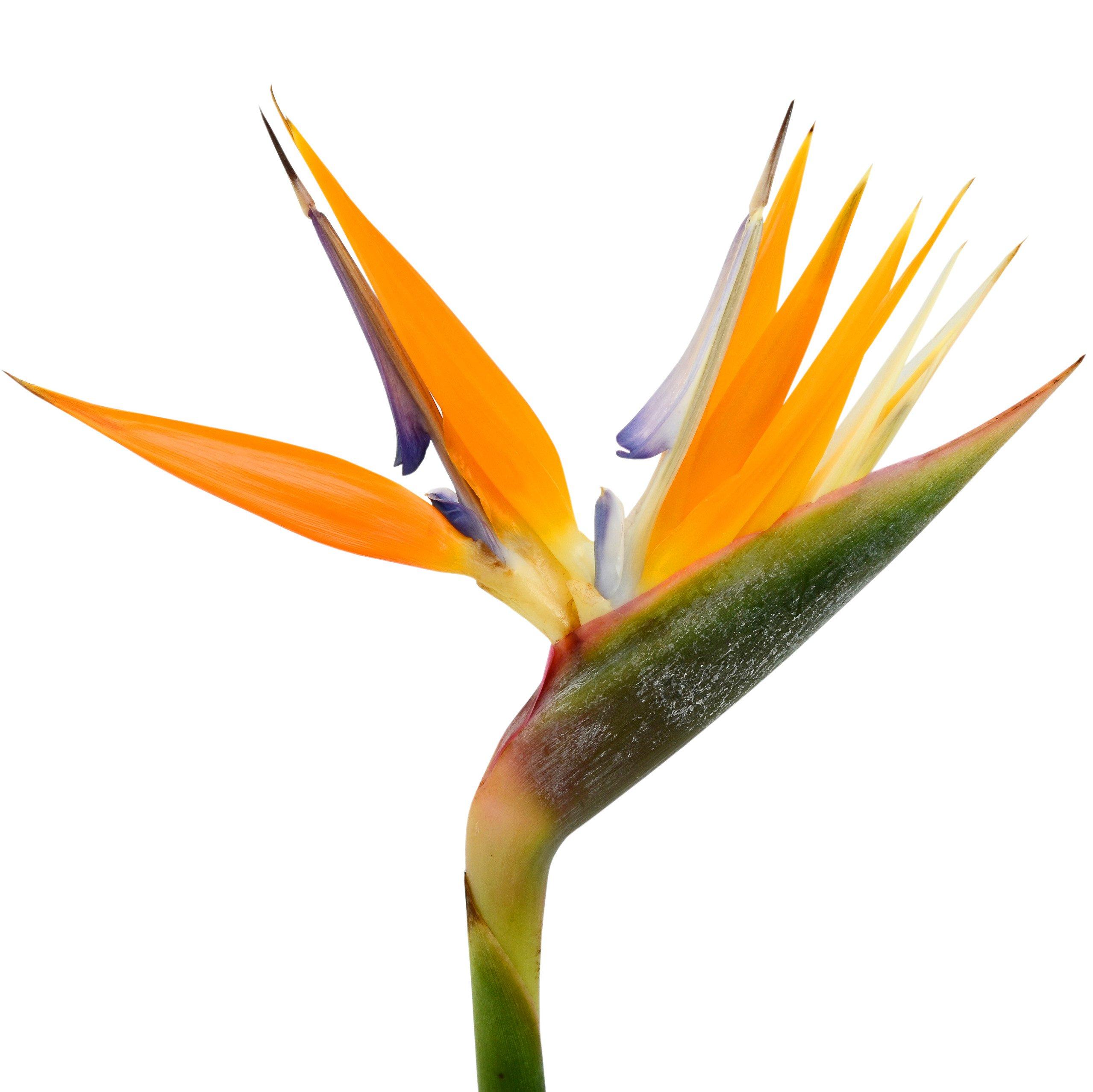 Amazon Bird Of Paradise Live Plant Exotic Plants Orange Flower