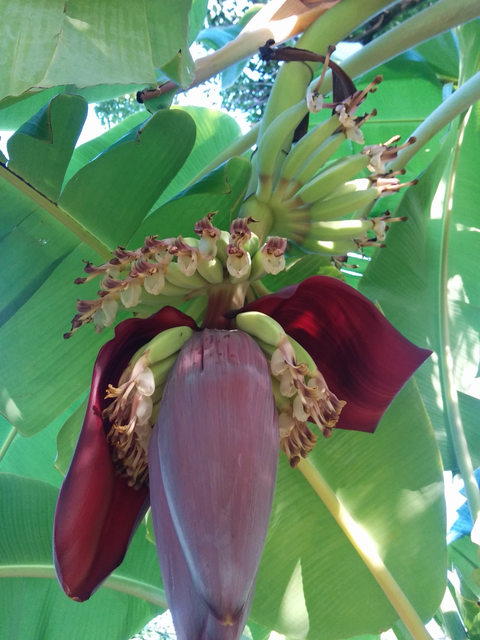 Banana Plants''Ice Cream'' Includes Four (4) Plants