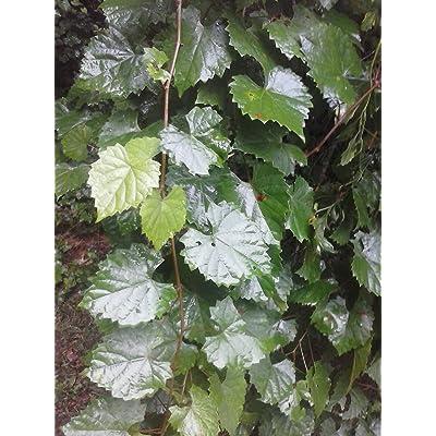 4 Live Muscadine Welder Grape Plants : Garden & Outdoor