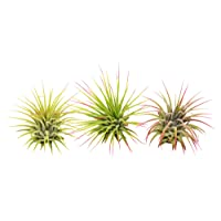 3 Ionantha Guatemala Air Plants / FREE Care Guide / Blooming Air Plant