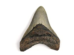 Authentic Massive Megalodon Shark Tooth - 212.4 Grams