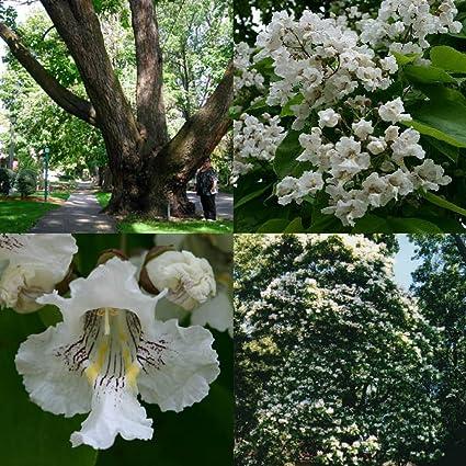 Amazon 30 Catapula Tree Seeds Fast Growing Gorgeous