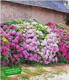 BALDUR-Garten Freiland-Hortensien-Hecke 'Pink-rosé', Rosa Bauernhortensie 3 Pflanzen Hydrangea Gartenhortensie winterhart blühende Hecken