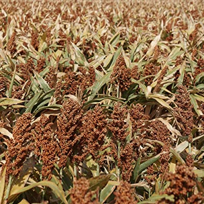 9300 Grain Sorghum Seed : Garden & Outdoor