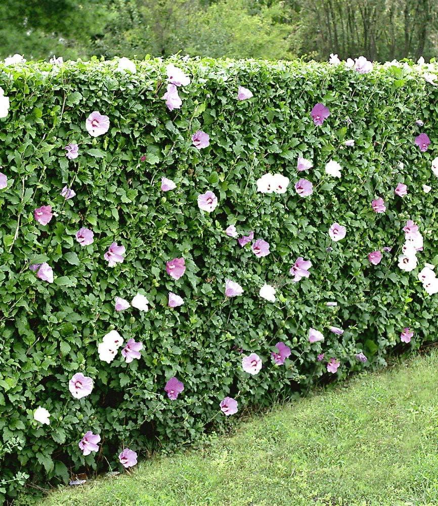 Baldur Garten Winterharte Hibiskus Hecke Garteneibisch