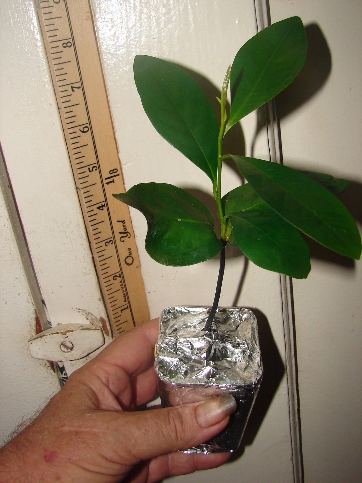 ~BLACK SAPOTE~ Chocolate Pudding Tree RARE FRUIT Diospyros digyna LIVE PLANT by 7_heads (Image #2)