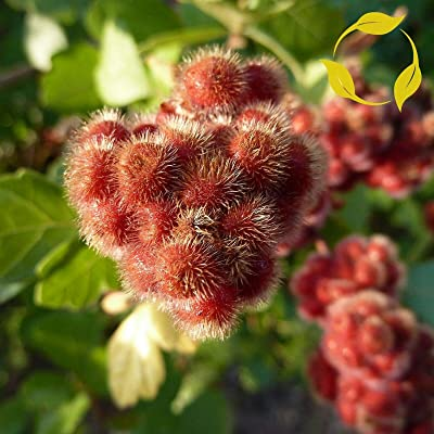 20 Seeds Fragrant Lemon Sumac Rhus Aromatica : Garden & Outdoor