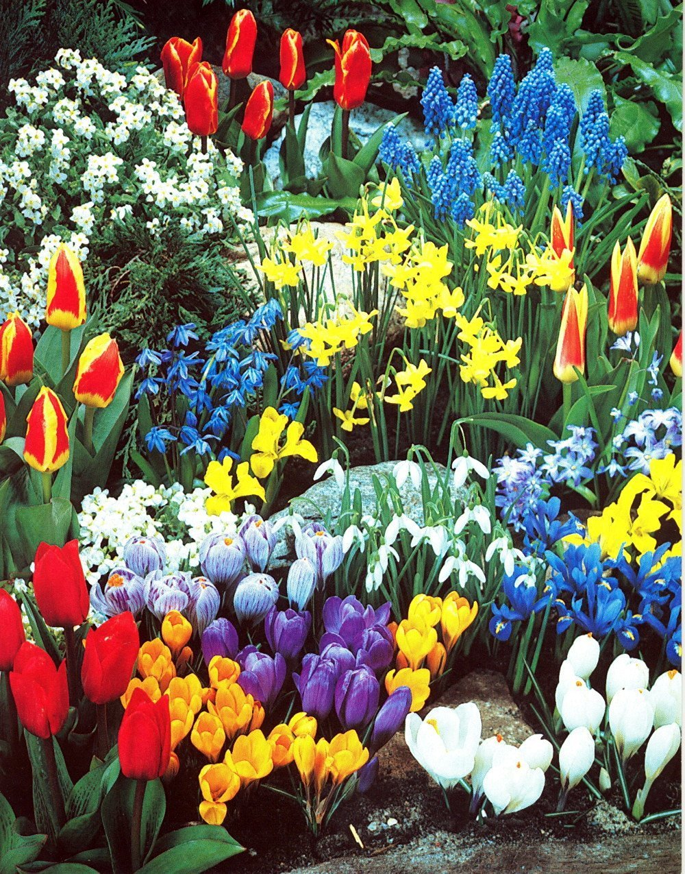 Complete Spring Flower Bulb Garden - 50 bulbs for 50 Days of Continuous Blooms (Spring Color from March through June) - Easy to Grow Fall Planting Bulbs by Willard & May