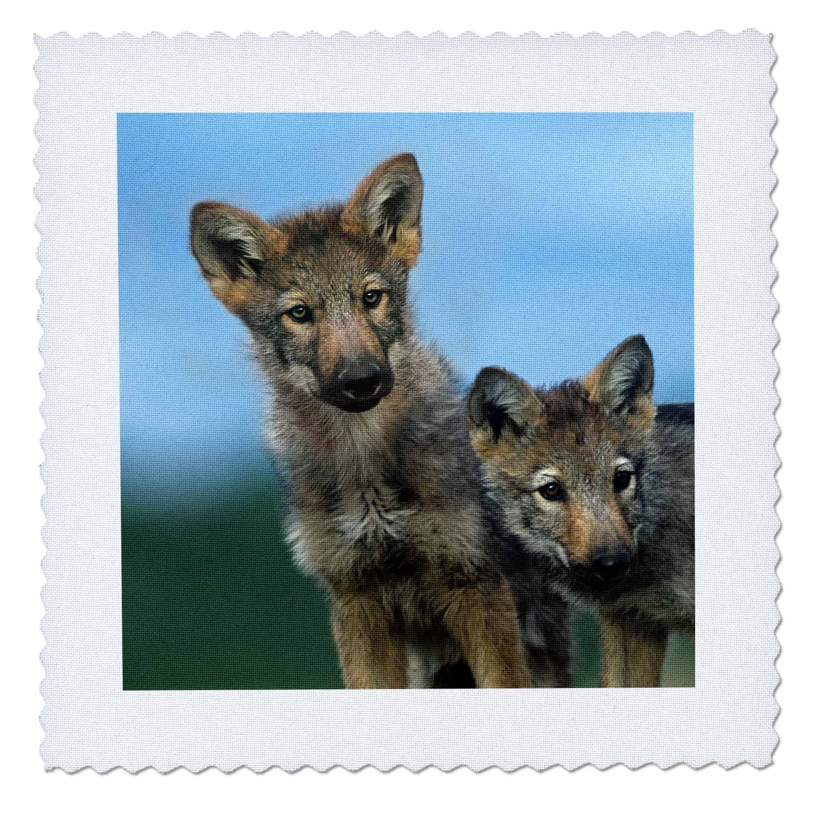 3dRose Danita Delimont - Baby Animals - Gray wolf pups, Canis lupus, look curiously around, Montana - 22x22 inch quilt square (qs_259646_9)