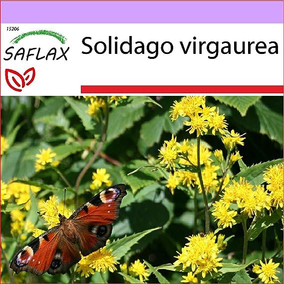 SAFLAX - Vara de oro - 100 semillas - Solidago virgaurea: Amazon.es: Jardín