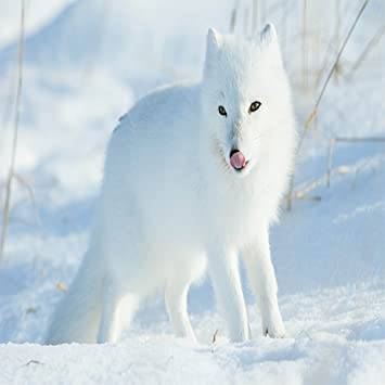 Amazon Arctic Fox Wallpaper Appstore For Android
