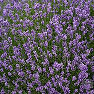 AchmadAnam - Seeds - English Lavender Flower Seeds - HERB : Garden & Outdoor