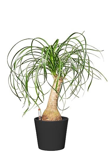 Evrgreen Elefantenfuss Zimmerpflanze In Hydrokultur Im Set Inkl