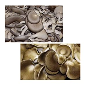 Oyster Mushroom Growing Kit ~ Easy to Grow Your Own FRESH Mushrooms!