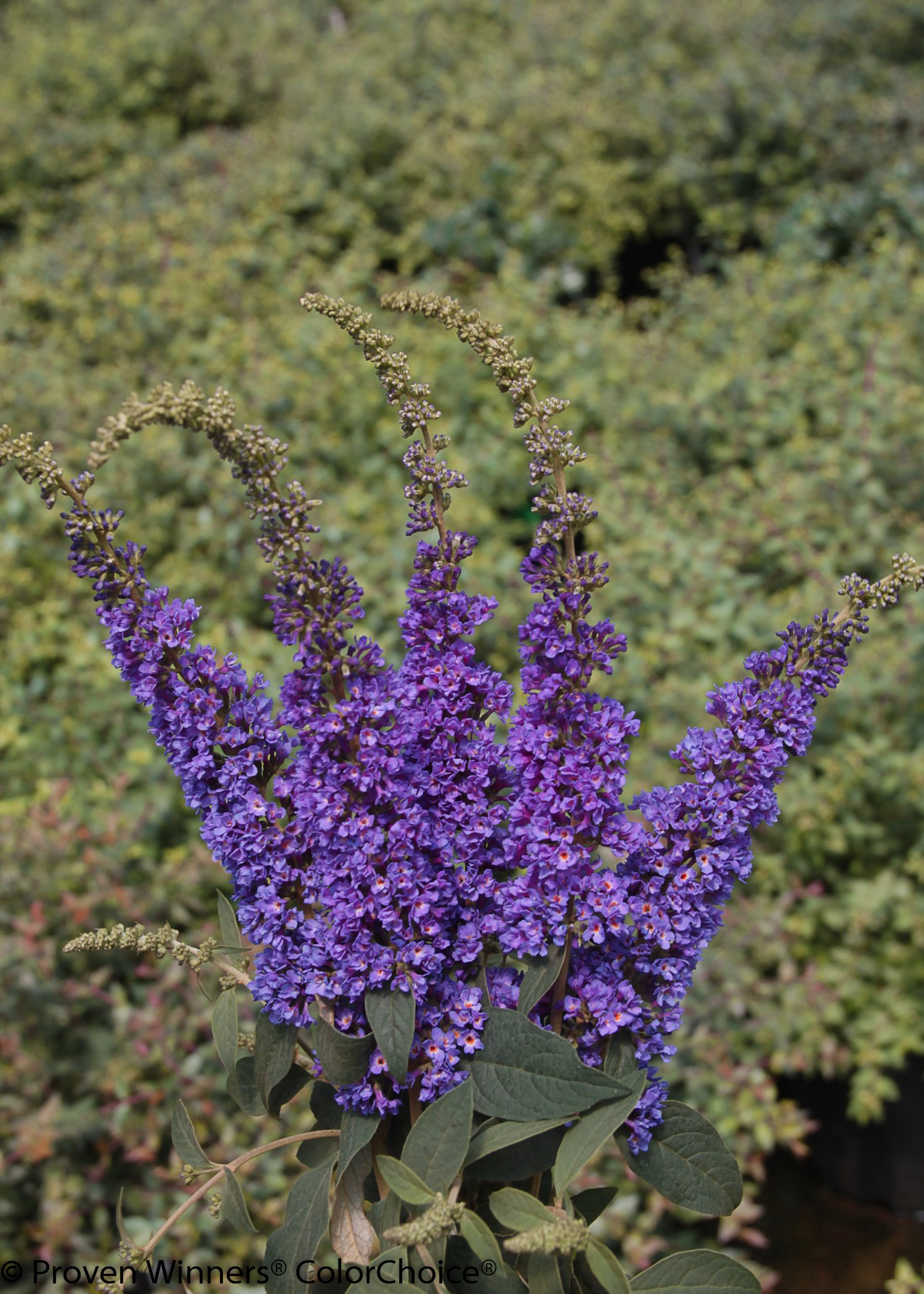 1 Gal. Lo & Behold 'Blue Chip Jr.' Butterfly Bush (Buddleia) Live Shrub, Blue-Purple Flowers by Proven Winners (Image #5)