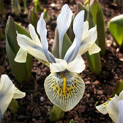 20 x Iris R/éticulata Katharina Hodgkin Bulbe Vivace