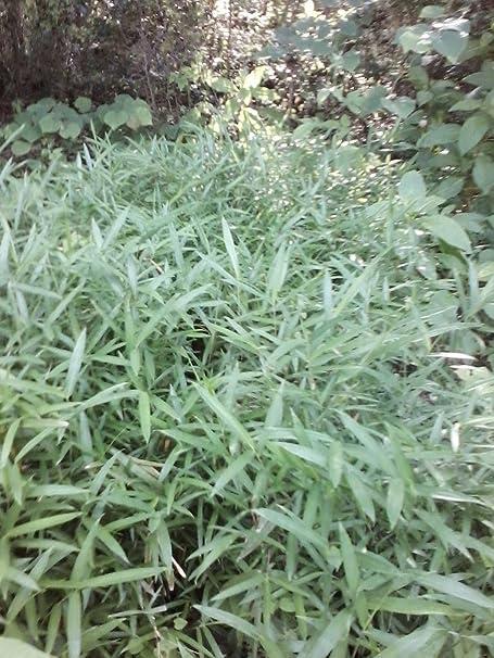 5 feet ARUNDINARIA TECTA  BAMBOO PLANT RHIZOMES