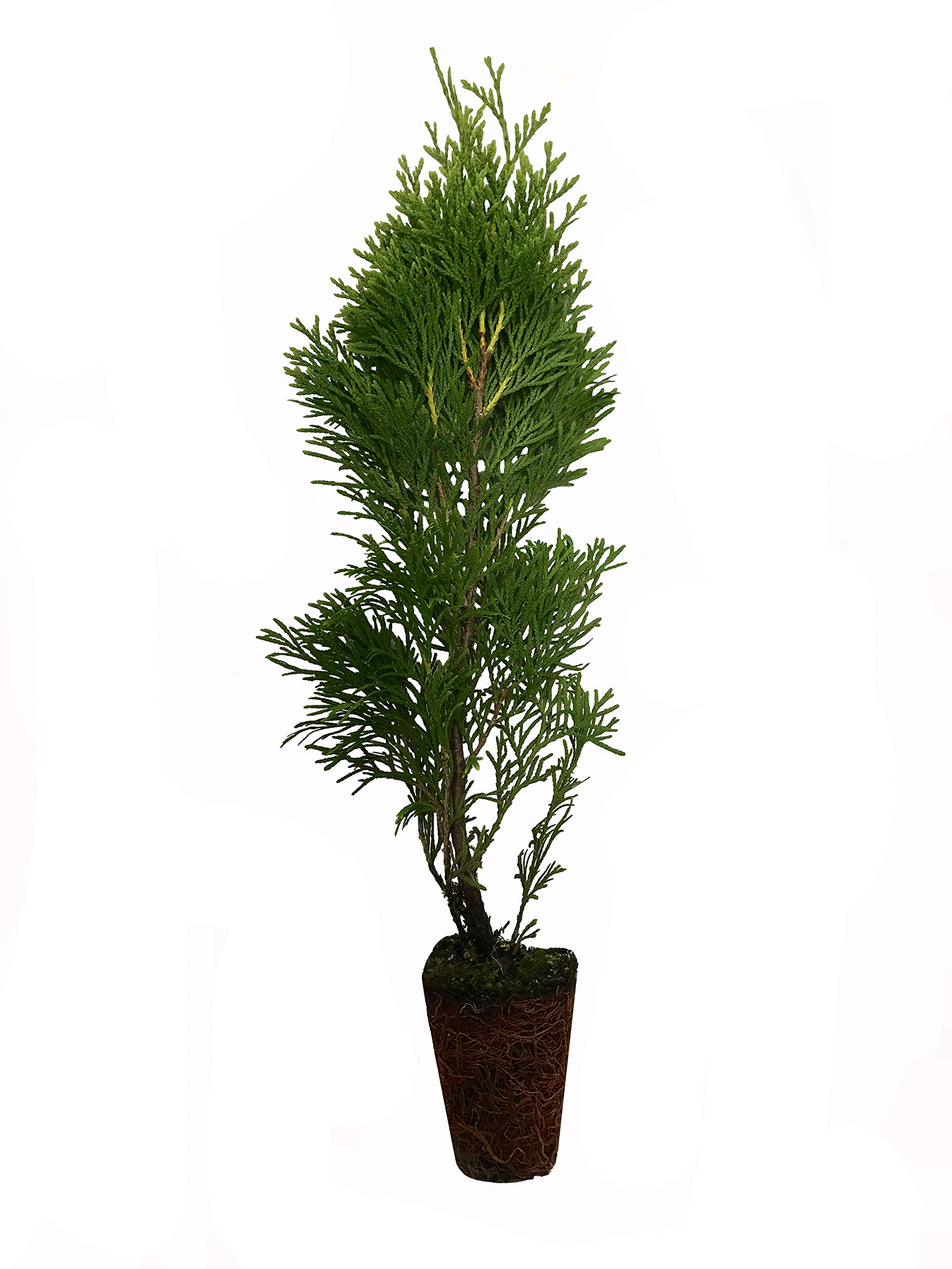 Thuja Emerald Green Arborvitae - 20 Live Plants - 2'' Pot Size - Evergreen Privacy Tree by Florida Foliage (Image #1)