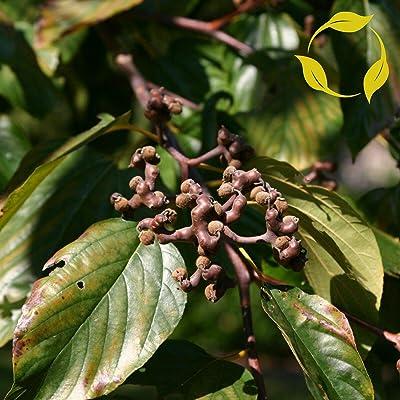 Japanese Raisin Tree Hovenia Dulcis 15, 30, 60 Seeds : Garden & Outdoor