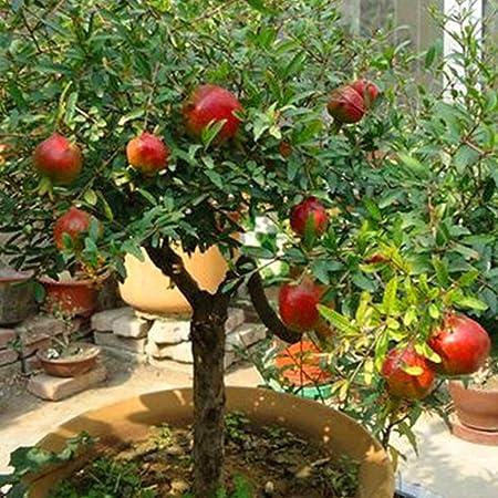 mymotto 20 pcs Cuatro Estaciones Plantas en Maceta jardín ornementales bonsái Granada Semillas: Amazon.es: Hogar