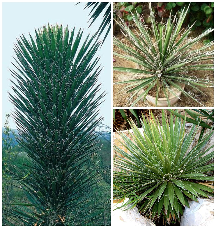 AGROBITS 10of Yuc filifera, grasse, CTI, Seme grasse R