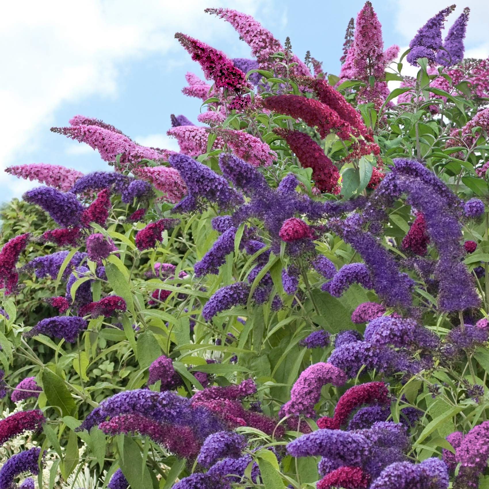 Cottage Hill Buddleia, 3-N-1 Butterfly Bush Collection - 6 Piece Live Plant, Multi-Colored