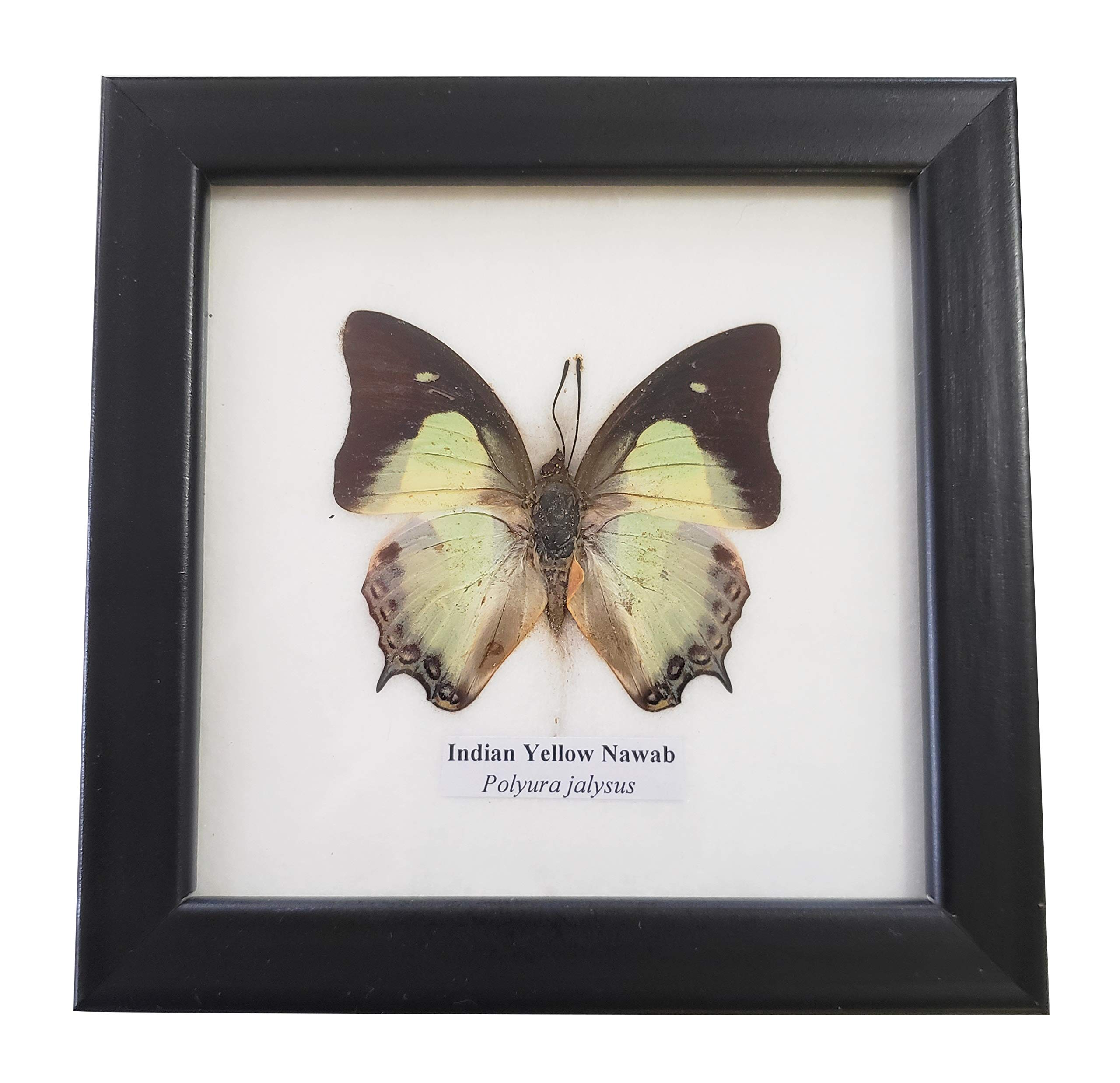 Real Framed Indian Yellow Nawab Butterfly