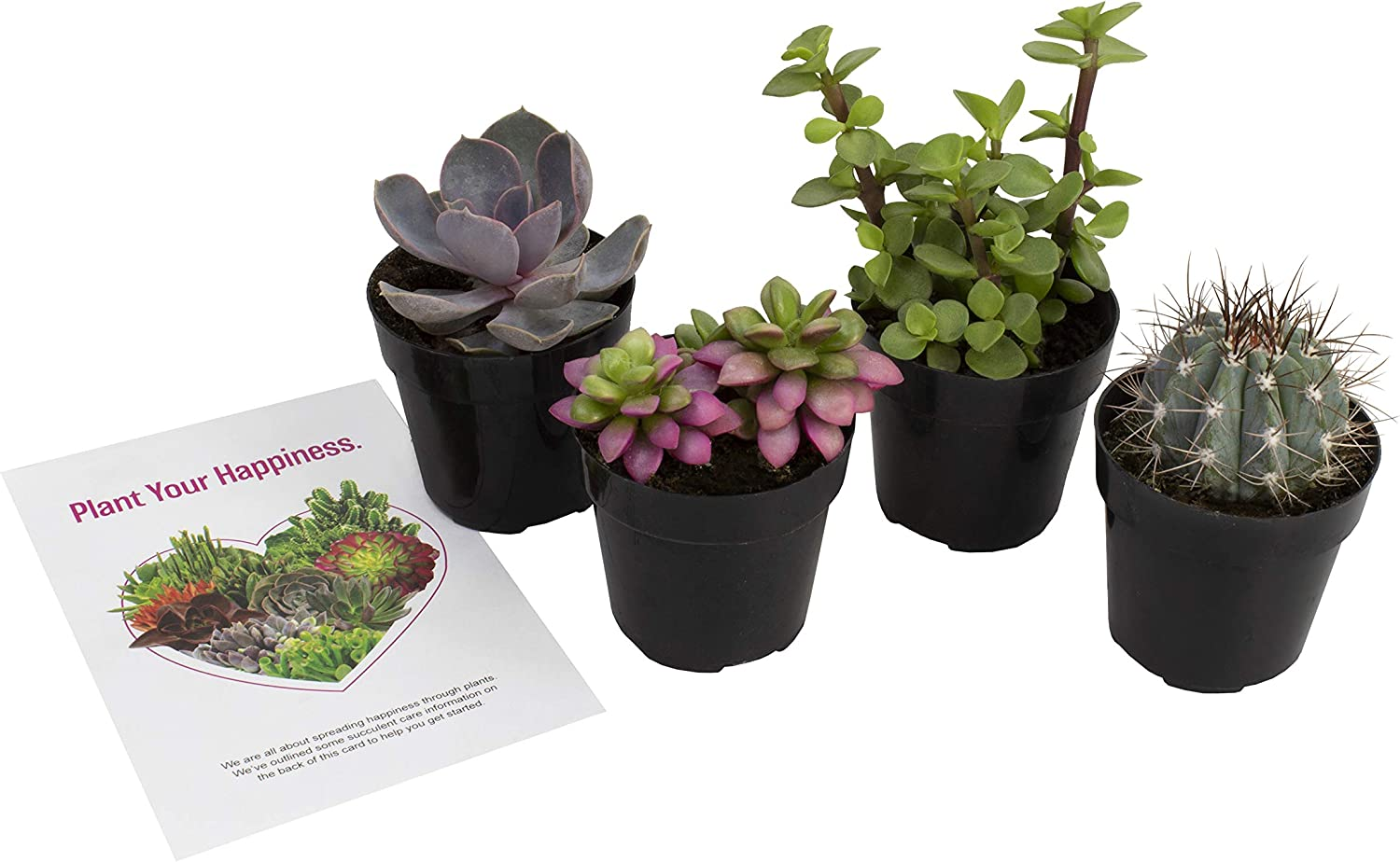 "Altman Plants - Live Succulent Plants Fairy Garden Kit (4 Pack) Assorted 2.5"" Potted Succulents Plants Live House Plants - Cacti in Planter Pots - Cactus Plants Live Indoor Plants Live Houseplants"