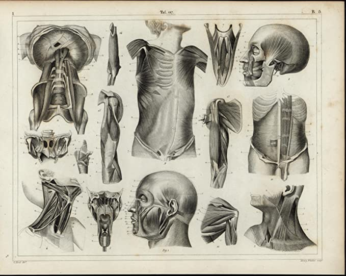 Amazon.com: Muscular System Face Arm Neck Torso Muscles 1855 antique ...