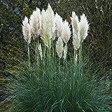 Pampasgras silberweiß - 5 pflanzen