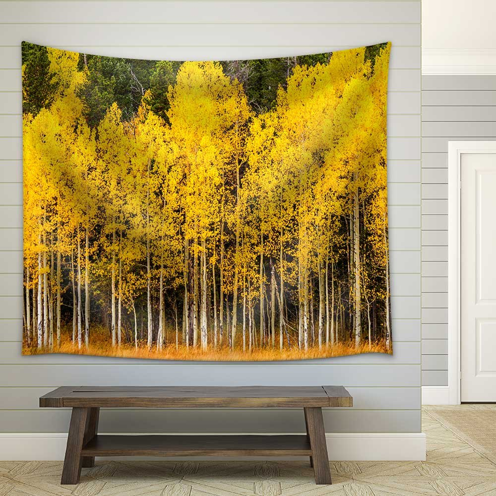 Stand of Changing Yellow Aspen Tree in Front of Dark Green Pine ...