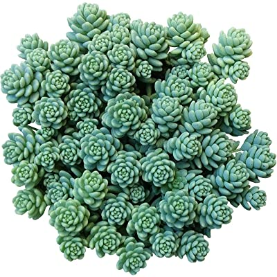 Sedum dasyphyllum Major Corsican Stonecrop Blue Tears Sedum (4'' + Clay Pot) : Garden & Outdoor