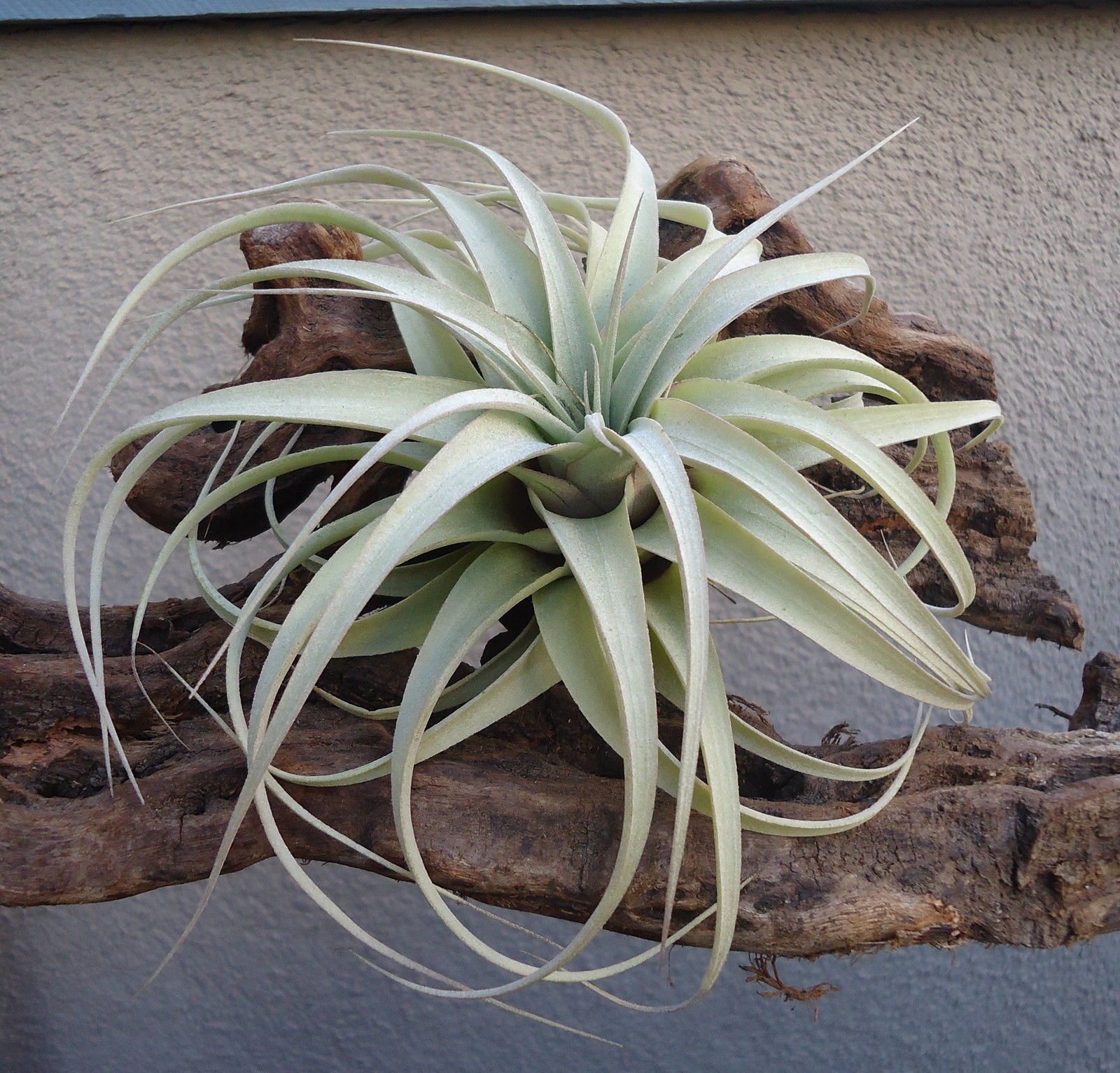 CTS AIR PLANTS Tillandsia Xerographica