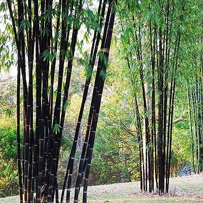 Loveble 100 Pcs Rare Purple Bamboo Seeds Garden Decoration Herb Planter Bambu Tree Seeds for Home Garden : Garden & Outdoor