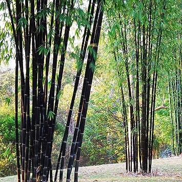 Moresave Lila Bambus Samen Hof Gartenpflanze 100pcs Amazonde