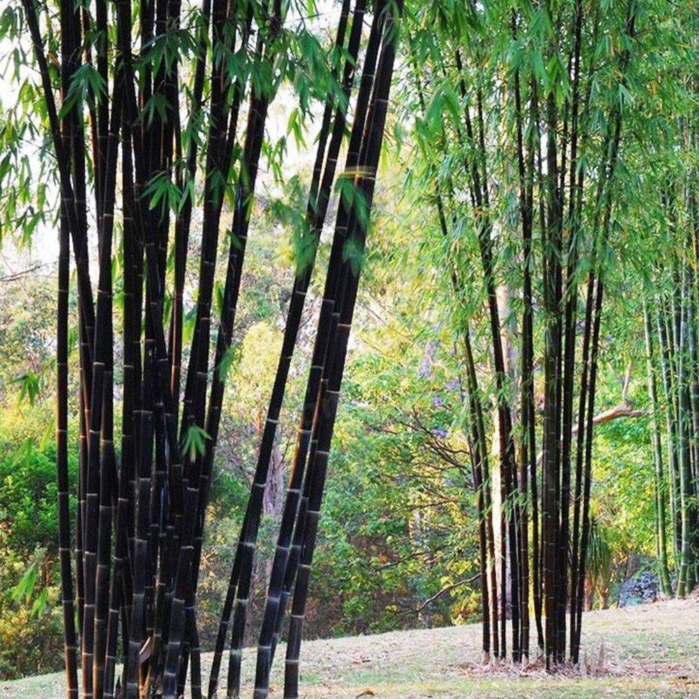 Bornbayb 100Pcs Purple Bamboo Seeds Garden Plants