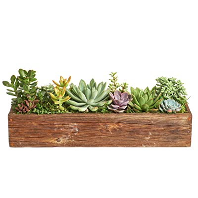 "Shop Succulents | Assorted Succulent 18"" Wooden Planter (White), Hand Selected Variety of Mini Succulents : Garden & Outdoor"